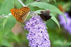 Oranje die aglaja van Argynnis van vlinderaglaia op een bloem zuigende nectar wordt gesteld royalty-vrije stock fotografie