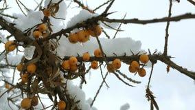 Oranje die bessen van duindoorn op een tak met sneeuw wordt behandeld stock video