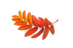 Oranje die bladerenlijsterbes met vlekken op een wit worden geïsoleerd Royalty-vrije Stock Afbeeldingen