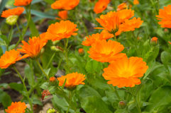 Oranje die bloemen door groene bladeren en bloemen worden omringd Royalty-vrije Stock Foto