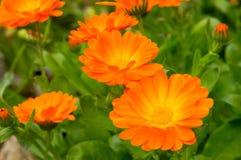 Oranje die bloemen door groene bladeren en bloemen worden omringd Stock Afbeeldingen