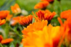 Oranje die bloemen door groene bladeren en bloemen worden omringd Stock Afbeelding