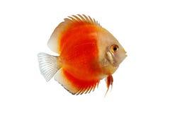 Oranje die Discusvissen op witte Achtergrond worden geïsoleerd Stock Foto