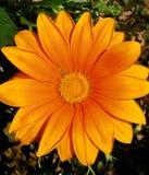 Oranje die Gerbera-madeliefje in beeld wordt gecentreerd Royalty-vrije Stock Foto