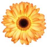 Oranje die gerberbloem op wit wordt geïsoleerd Stock Afbeelding