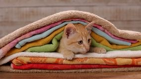 Oranje die gestreepte katkatje onder handdoeken wordt genesteld die op zijn omgeving letten stock video