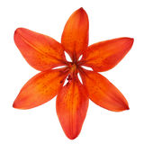 Oranje die lelie op een witte achtergrond wordt geïsoleerd Royalty-vrije Stock Foto's