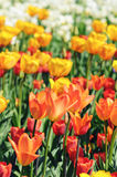 Oranje die tulpen in bloembed met rug in de lente wordt aangestoken Stock Fotografie