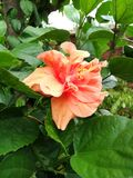 Oranje dubbele hibiscusbloem Royalty-vrije Stock Afbeelding