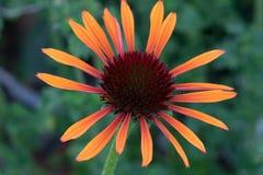 Oranje echinacea Stock Afbeeldingen