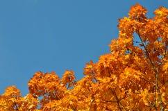 Oranje Eik Stock Fotografie
