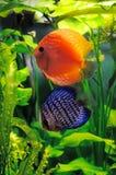 Oranje en blauwe discusvissen Stock Afbeeldingen