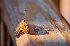 Oranje en bruine vlinder die op houten oppervlakte rusten Royalty-vrije Stock Afbeeldingen