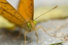 Oranje en Donkere bruine Vlinder Stock Afbeelding