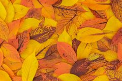 Oranje en Gele Bladerentextuur de van Autumn Red, royalty-vrije stock foto