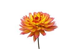 Oranje en gele dahlia Royalty-vrije Stock Foto's
