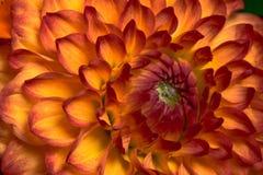 Oranje en Gele Dahlia in Zonlicht Stock Fotografie