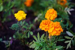 Oranje en gele goudsbloembloemen in de tuin Tagetespatula Zachte nadruk stock afbeelding