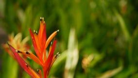 Oranje en gele heliconia, Strelitzia, het macroclose-up van het Vogelparadijs, groene achtergrond Exotische tropische bloeiende b stock videobeelden