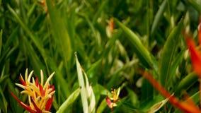 Oranje en gele heliconia, Strelitzia, het macroclose-up van het Vogelparadijs, groene achtergrond Exotische tropische bloeiende b stock footage