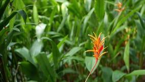 Oranje en gele heliconia, Strelitzia, Paradijsvogel macroclose-up, groene bladeren op achtergrond Tropisch Paradise stock video