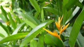 Oranje en gele heliconia, Strelitzia, Paradijsvogel macroclose-up, groene bladeren op achtergrond Tropisch Paradise stock footage
