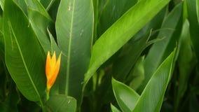 Oranje en gele heliconia, Strelitzia, Paradijsvogel macroclose-up, groene bladeren op achtergrond Tropisch Paradise stock videobeelden
