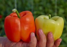 Oranje en gele peper ter beschikking Stock Foto