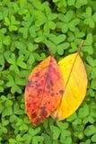 Oranje en gele vergankelijke bladeren op klaver Stock Afbeelding