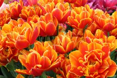 Oranje en gouden tulpen royalty-vrije stock afbeelding