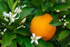 Oranje en oranje bloesem Royalty-vrije Stock Afbeeldingen