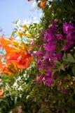 Oranje en purpere bloesem Royalty-vrije Stock Afbeeldingen