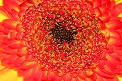 Oranje en rode bloemmacro Royalty-vrije Stock Afbeelding