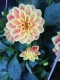 Oranje en Rode Dahlia's Royalty-vrije Stock Afbeeldingen