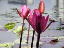 Oranje en roze aquatische bloemen op knoop Stock Afbeelding