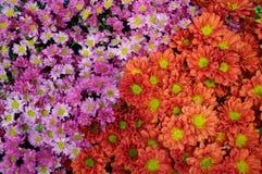Oranje en roze chrysant Stock Afbeeldingen