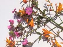 Oranje en roze de tuin wilde bloem van het land Stock Afbeelding