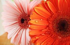 Oranje en roze gerbera stock foto's