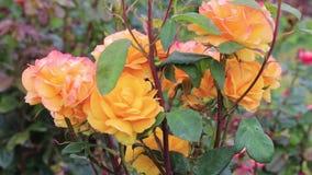 Oranje en roze rozen stock video