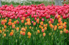 Oranje en roze tulpen Royalty-vrije Stock Afbeeldingen