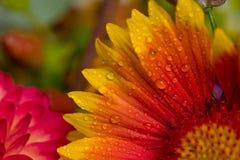 Oranje en roze wilde bloemen Stock Afbeeldingen