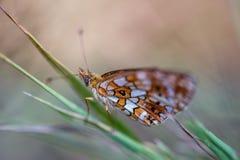 oranje en witte close-up van de insect het alleen vlinder in de zomer die op een grassteel rusten op beige achtergrond royalty-vrije stock afbeelding