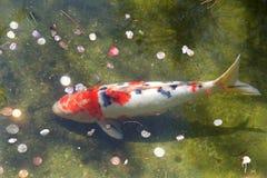 Oranje en witte koivissen in ondiep water met muntstukken stock fotografie