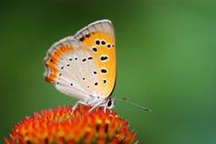 Oranje en witte vlinder Stock Afbeeldingen