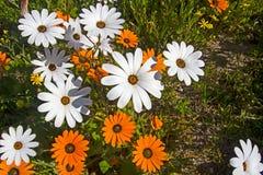 Oranje en witte wildflowers van het de lentemadeliefje stock fotografie