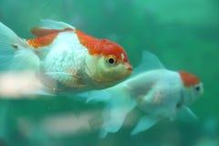 Oranje en zilveren kleurenvissen Stock Fotografie