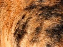 Oranje en zwart haar van een calicokat Stock Fotografie