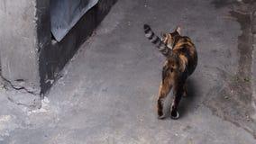 Oranje en zwart katje met grijze toon backgroud Stock Afbeeldingen