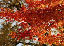 Oranje Esdoorn Royalty-vrije Stock Fotografie