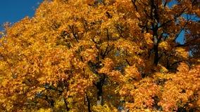 Oranje esdoorn tegen blauwe hemel, bodemmening, camerabeweging stock video